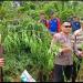 Kapolres Rejang Lebong AKBP Puji Prayitno saat meninjau langsung lokasi penanaman ganja (foto/ist)